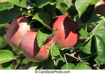 Apples ready for picking - Seasonal apples on tree branches,...