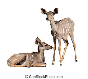 Young Greater Kudu isolated on a white background