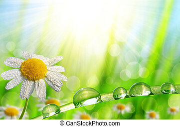 daisy and green grass - Dew drops on a daisy and green...