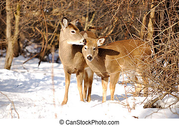 Whitetail Deer Yearling With Doe - Whitetail deer yearling...