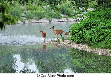 Whitetail Deer Doe - Whitetail deer doe standing in a stream...