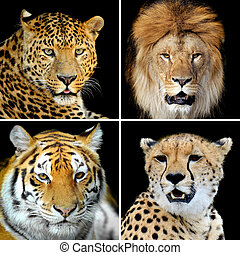 Four big wild cats leopard, tiger, lion, cheetah