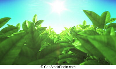 Beautiful Green Lush Leaves in the Field Moving through Sun...