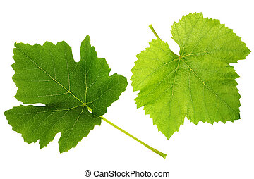 Grape leaf - Grape green leaf isolated on white background