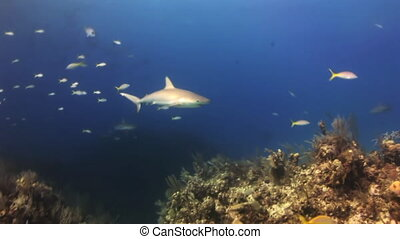 The shark swims in the blue sea in search of food Amazing,...