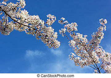 Blooming cherry tree branches - Cherry tree blanches with...