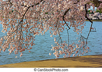 Colorful cherry tree branches - Cherry trees around the...