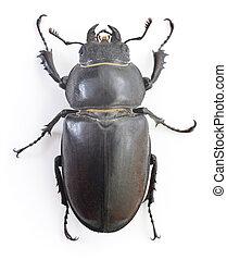 Stag Beetle - Female Reddish-brown Stag Beetle Lucanus...