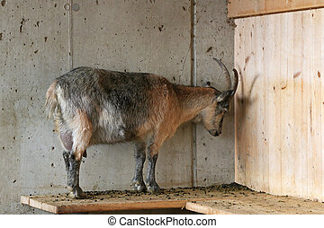 A goat with its head pressing against the wooden wall - A...