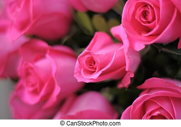 pink roses - beauty pink roses
