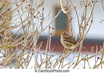 Female House Sparrow perching on branches - A small female...