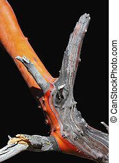 Manzanita Bark - Manzanita wood isolated on black