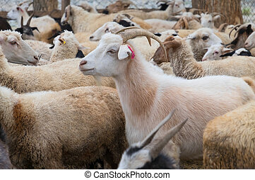 Goats and sheep in a cattle-pen in Central Mongolia