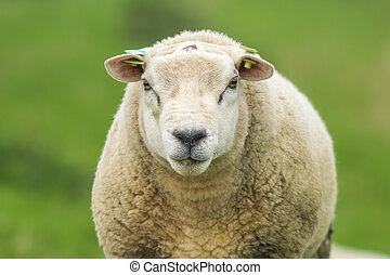 Closeup of a sheep