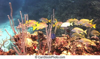 Underwater Coral Reef and Tropical Fish in Bahamas. Amazing,...