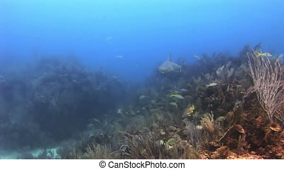 Underwater Coral Reef and Tropical Fish in Bahamas Amazing,...