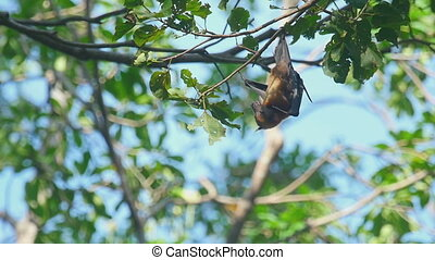 Flying fox hangs on a tree branch - Lyle's flying fox...