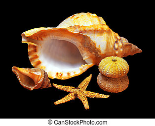 Whelk, starfish and sea-urchins isolated in black background