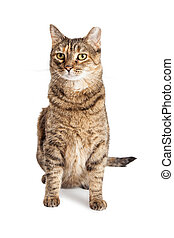 Tabby Cat With Ear Tipped - Beautiful tabby cat sitting over...