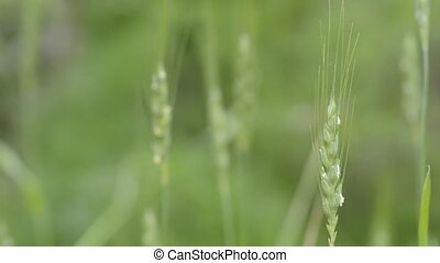 Wheat flowers are out of stamen in green field