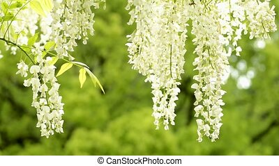 White wisteria flowers in front of fresh green blur
