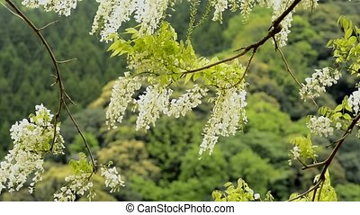 White wisteria flowers swaying in the wind in front of green...