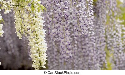 White and purple wisteria flowers - White wisteria flowers...