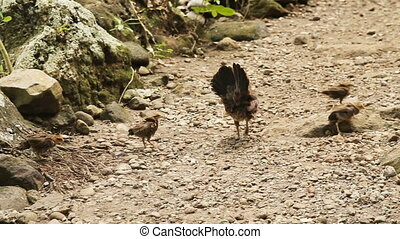 Mother chicken with its baby chicks - Hen with chicks walk...