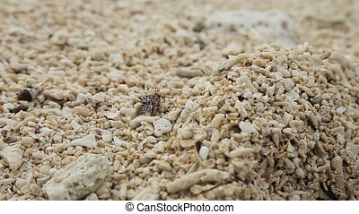 Small hermit crab in the sand. - Hermit crab crawling on the...