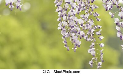 Purple wisteria flowers - Close up purple wisteria flowers...
