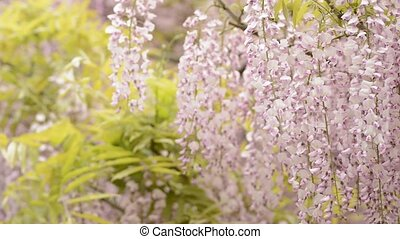 Red purple wisteria flowers swaying in the wind in front of...