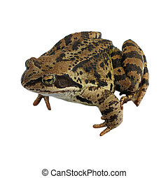 Brown Frog isolated on the white