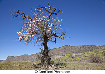 Gran Canaria, Caldera de Tejeda, January, almond trees...