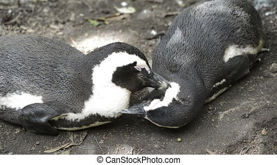 African Penguins Wild - African Penguins (spheniscus...