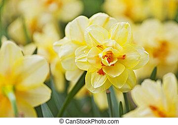 cidade, tiro, primavera, amarela, cedo, parque, narcisos silvestres,  closeup, delicado, flor