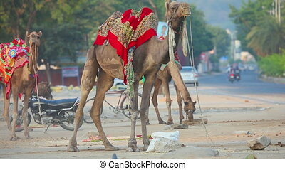 Camel riding in the streets of Jaipur - JAIPUR, INDIA -...