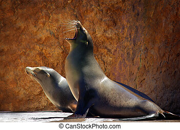 Sea Lions - Two Sea Lions in a zoo show against a rocky...