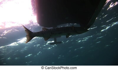 Barracuda under the bottom of the ship - Barracuda under the...