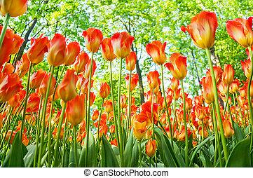 cidade, ângulo,  tulips, amarelo-laranja, cedo, parque, baixo, primavera, tiro,  bloomed, multa
