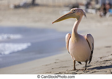 Pelican close up portrait on the beach in Cyprus