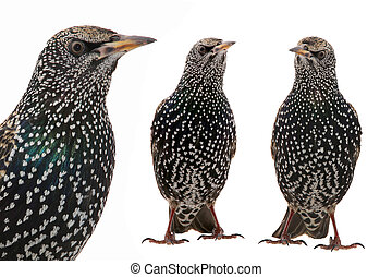 Two Starling - Two Starling Sturnus vulgaris isolated on...