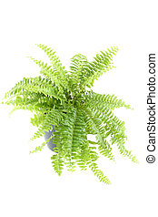 Nephrolepis fern indoor plant - Close-up of Nephrolepis fern...