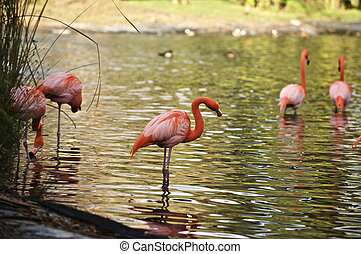 Flamingos in the pond - Flamingos search for their food in...
