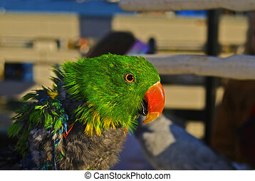A young Eclectus Parrot is molting its youthful feathers - A...