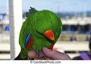 An Eclectus Parrot is perched on its trainers finger - A...