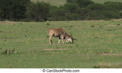 Eland grazing on plain - Eland Taurotragus oryx grazing on...