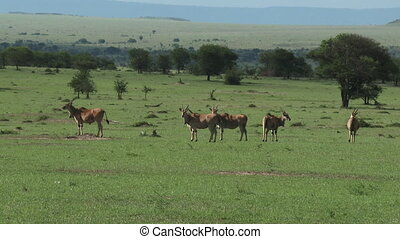 Herd of Eland on plain - Herd of Eland Taurotragus oryx...