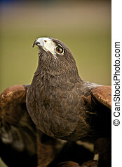 Harris Hawk looking up to the sky - A Harris Hawk is being...