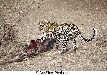 Leopard - A leopard is trying to protect his kill, Masai...