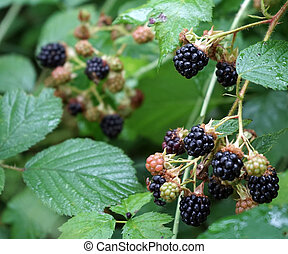 Blackberry on the bush with green leaves